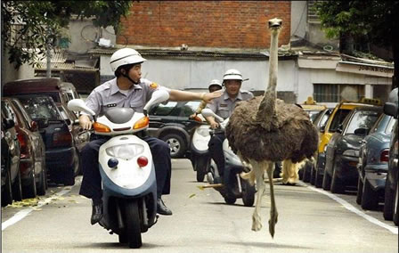 Officials chasing a running ostrich