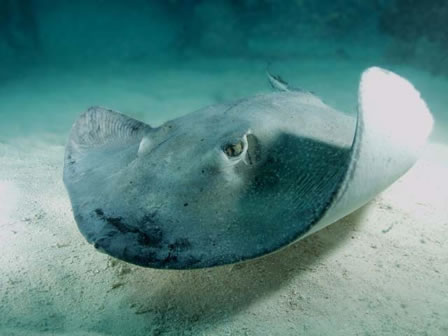 Stingray out for food