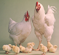 Happy family of chickens!