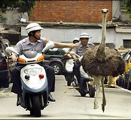 Ostrich! This is the police! Pull over!