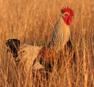 The rooster in the afternoon sun.