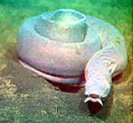 The inshore hagfish (eel)